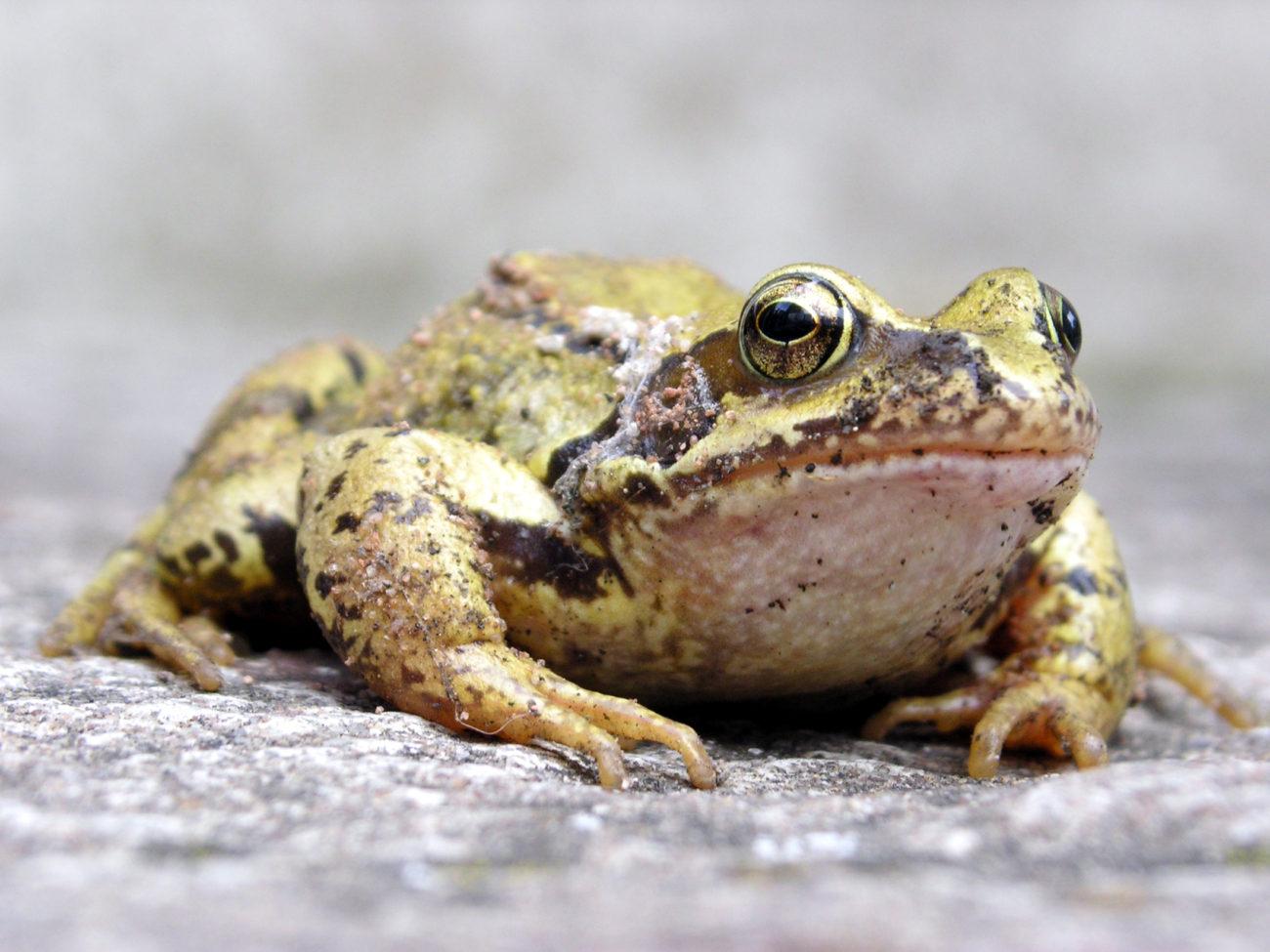 Pose de filets «Coup de main aux amphibiens»